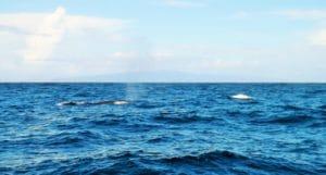 whale watching nelle Azzorre (seconda immagine al largo)