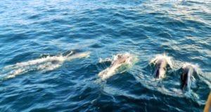 delfini nel mare delle Azzorre