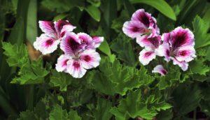 le piante di geranio allontano in modo naturale le zanzare