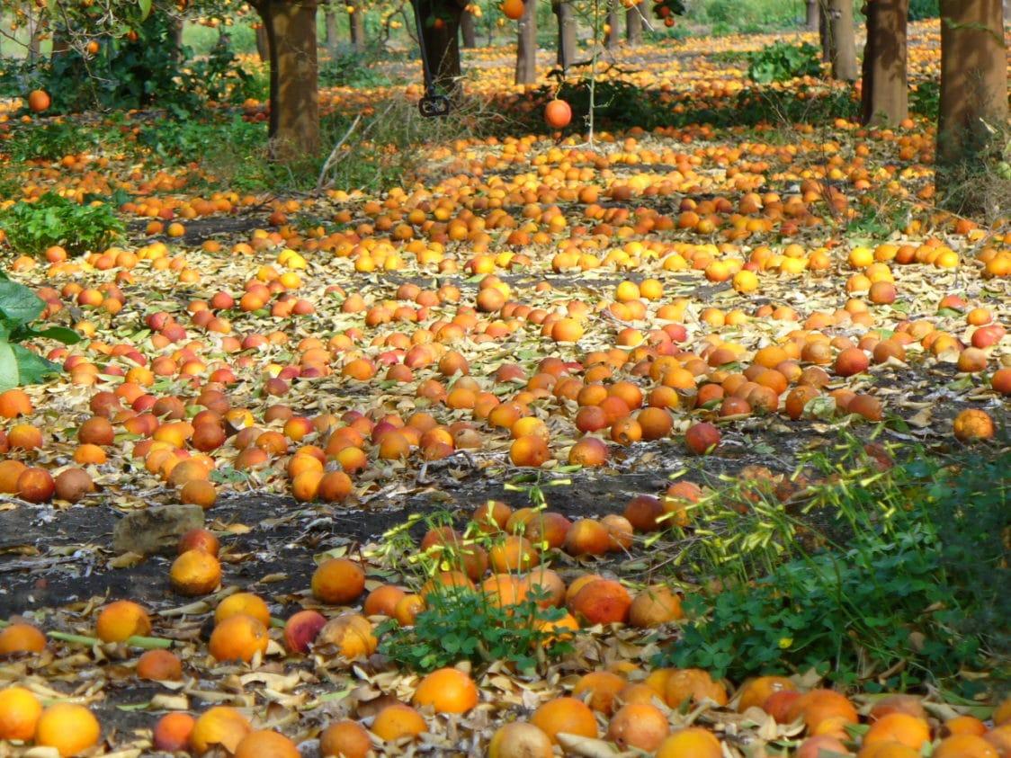 la raccolta delle arance da cui nasce orange fiber