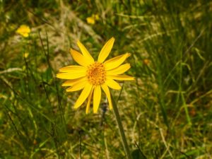 Arnica: pianta officinale