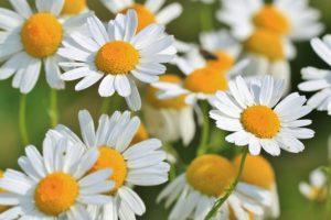 Fiori di Camomilla un rimedio naturale consigliato per lenire gli effetti della dermatite