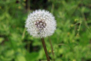 piante che rilasciano pollini e sostanze che possono provocare allergia