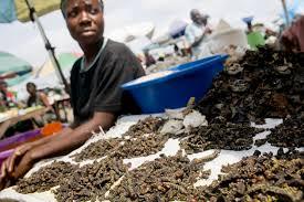 mangiare insetti Congo