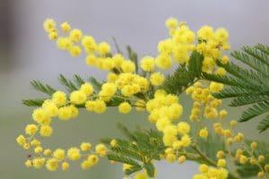 Regalare fiori partendo dal loro significato: la mimosa