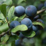 Prunus: dal Molise la pianta antitumorale