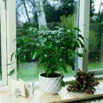 Ficus benjamina. Fonte immagine: http://floradania.dk