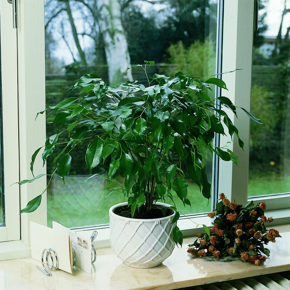 Ficus Benjamin Perde Foglie piante d'appartamento che migliorano l'aria delle case (e