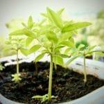 piante aromatiche contro le pulci